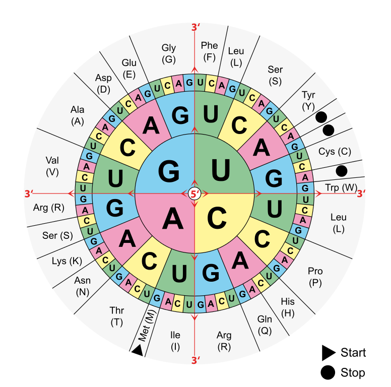 Augc Amino Acid Chart  Cram For The Exam Board