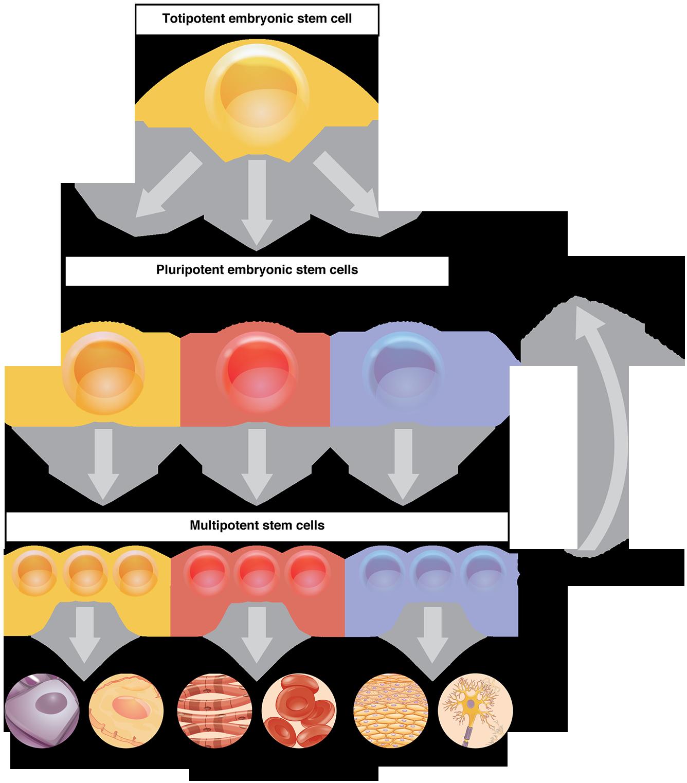 stem cell differentiation human mechanics. Black Bedroom Furniture Sets. Home Design Ideas