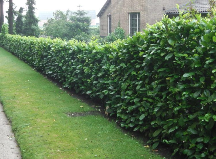 10 Fast Growing Hedges For Privacy Fast Growing Hedge Fast