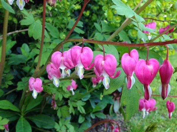 Ellen Mary Ellenmarygarden On Twitter Plants Uk Bleeding Heart Flowers