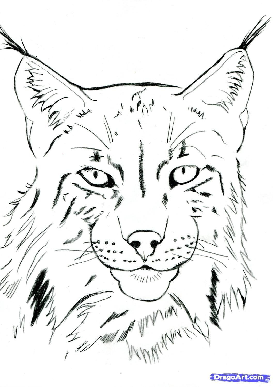 how to draw a realistic lynx step 11 Pencil drawings of