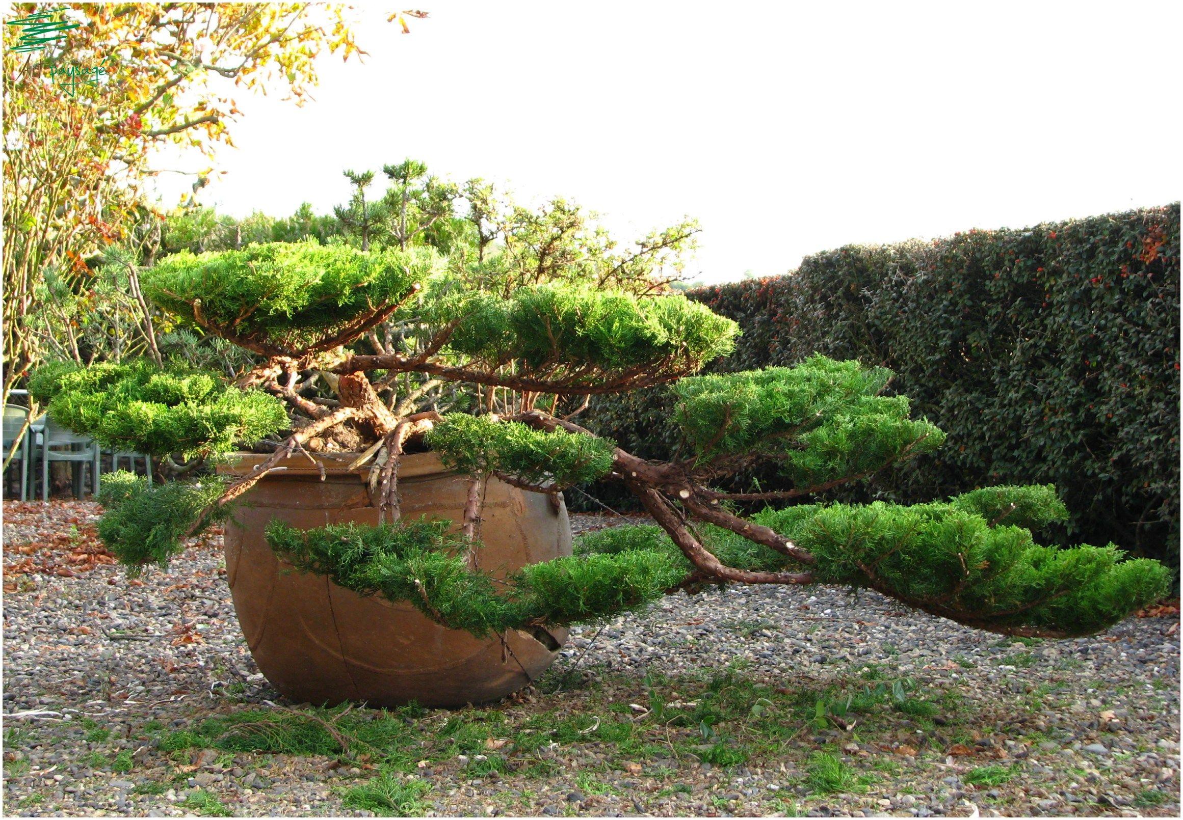 niwaki taille en nuage de genevrier bonsa pinterest topiaire bonsa et jardins. Black Bedroom Furniture Sets. Home Design Ideas