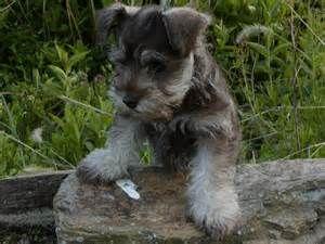 Choosing Good Miniature Schnauzer Puppies Miniature Schnauzer Puppies Schnauzer Puppy Schnauzer