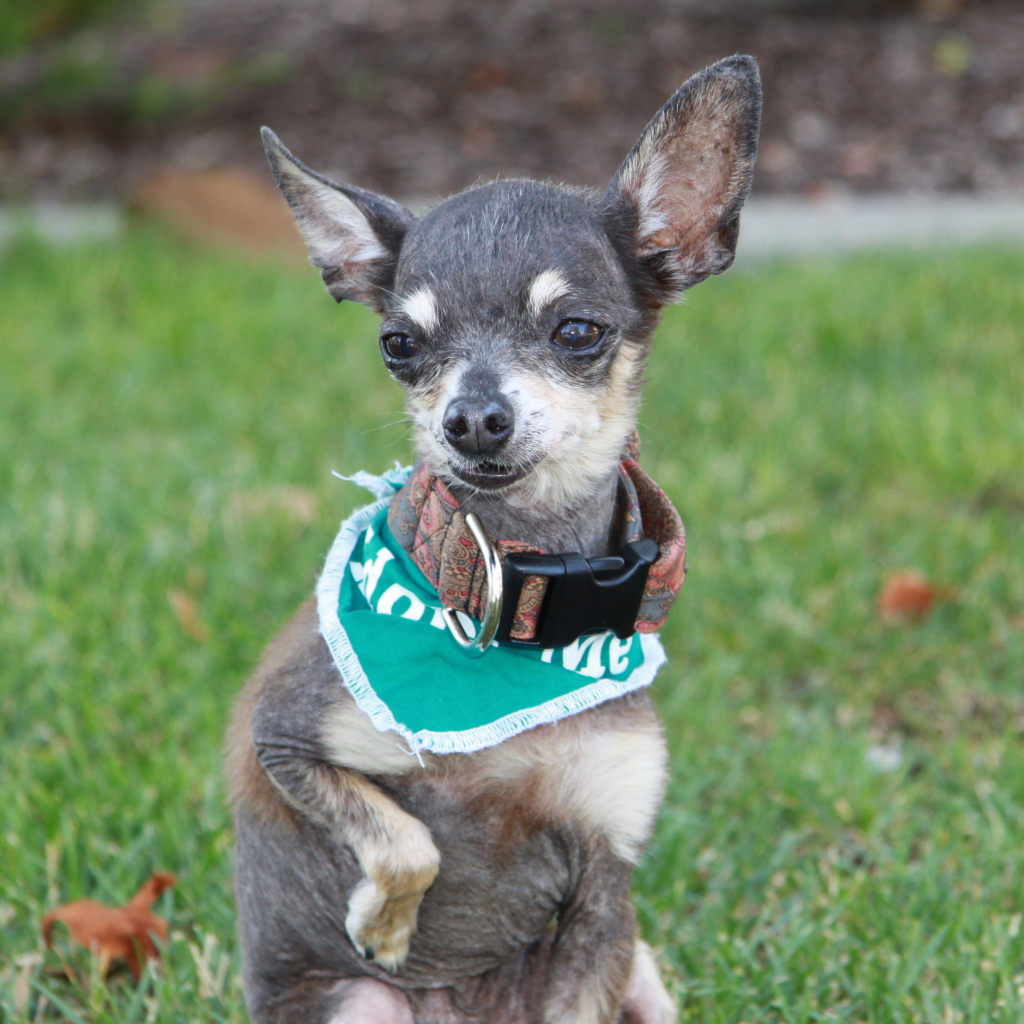 Cricket Senior Chihuahua Was Adopted Sf Bay Area At Maddie S Fund Pets Animal Shelter Animals