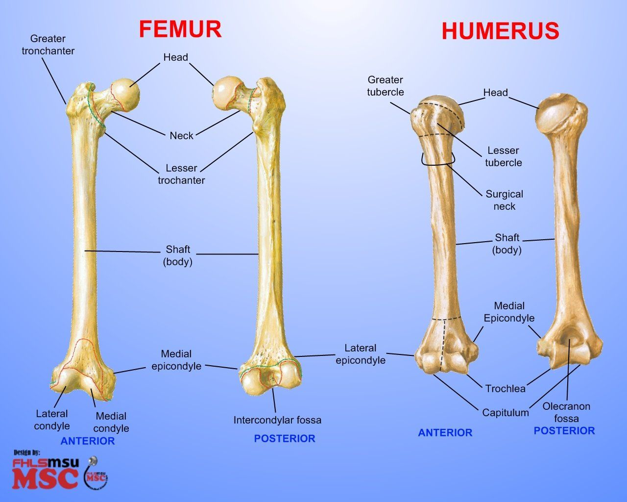 femur bone labeled | differences between femur & humerus elements