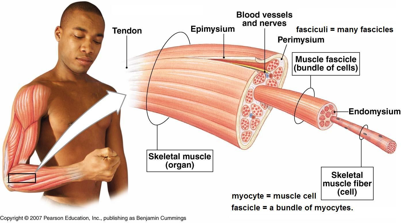 skeletal muscle definition – lickclick, Muscles