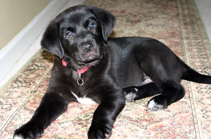 Images Of Black Cocker Lab Puppies Goldens Retrievers Golden