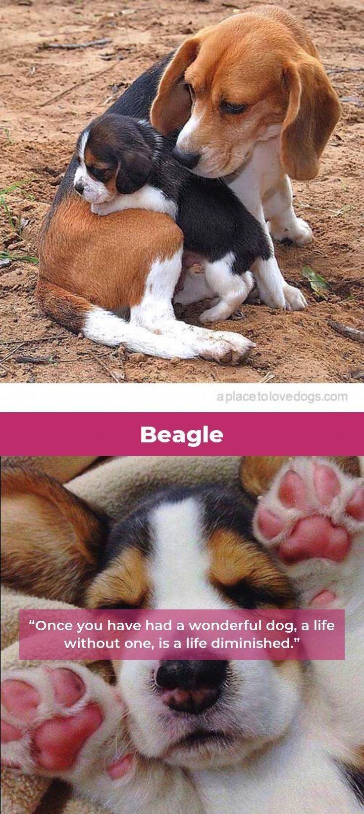 Beagle Dogs Beagle Dogs Beagle Dog Beagle
