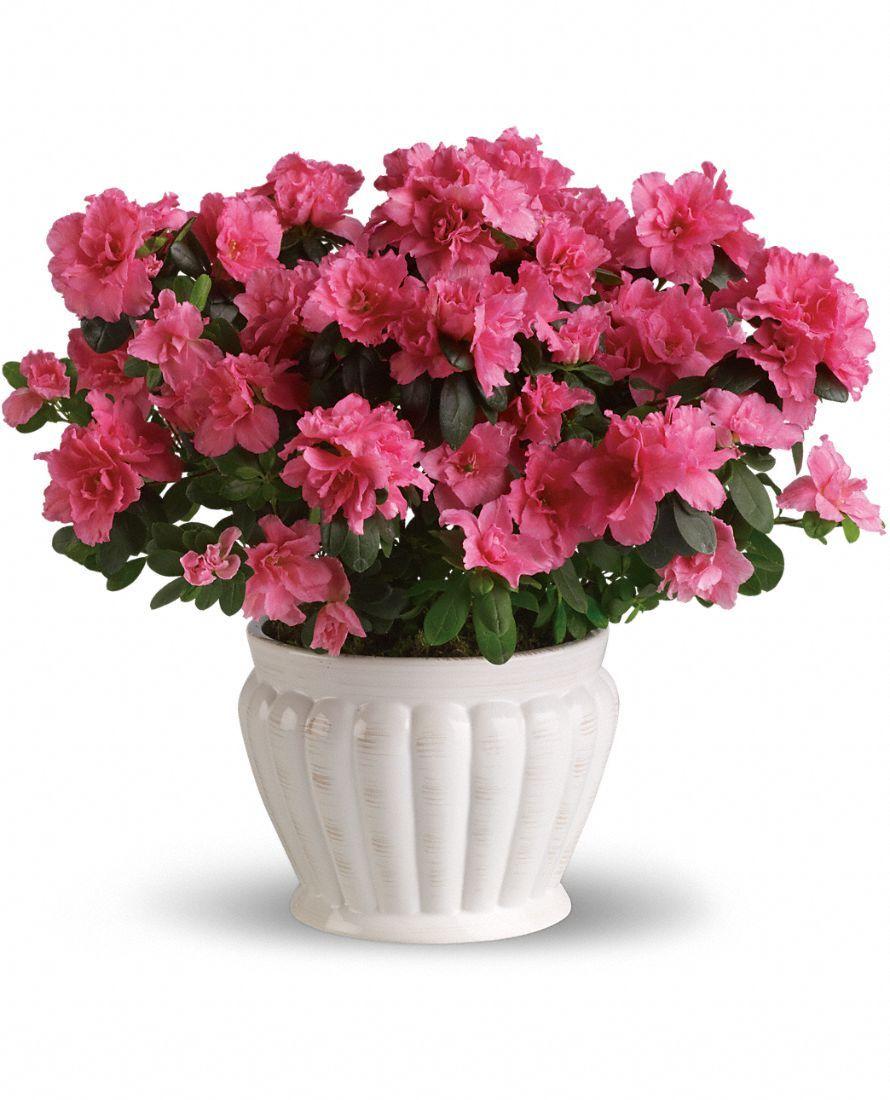 Indoor Azalea Care Tips - Planting, Growing, Pruning Azaleas ...