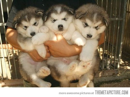 Must see Alaskan Malamute Chubby Adorable Dog - f5a88415a1840e8dcdd92b7a8cafb182  Perfect Image Reference_652972  .jpg