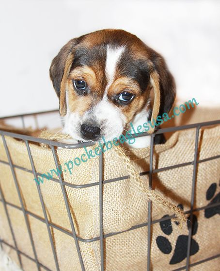 Beautiful Small Beagle Adorable Dog - f5a89c26c502f5617d6d176e55888f17  You Should Have_737311  .jpg
