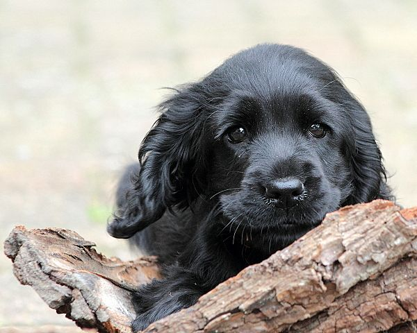 From My Lady S Eyes Engelse Cocker Spaniels Home Cocker