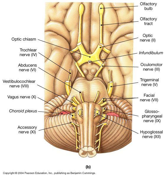 Cranial Nerves Diagram Labeled - Data Wiring Diagrams •