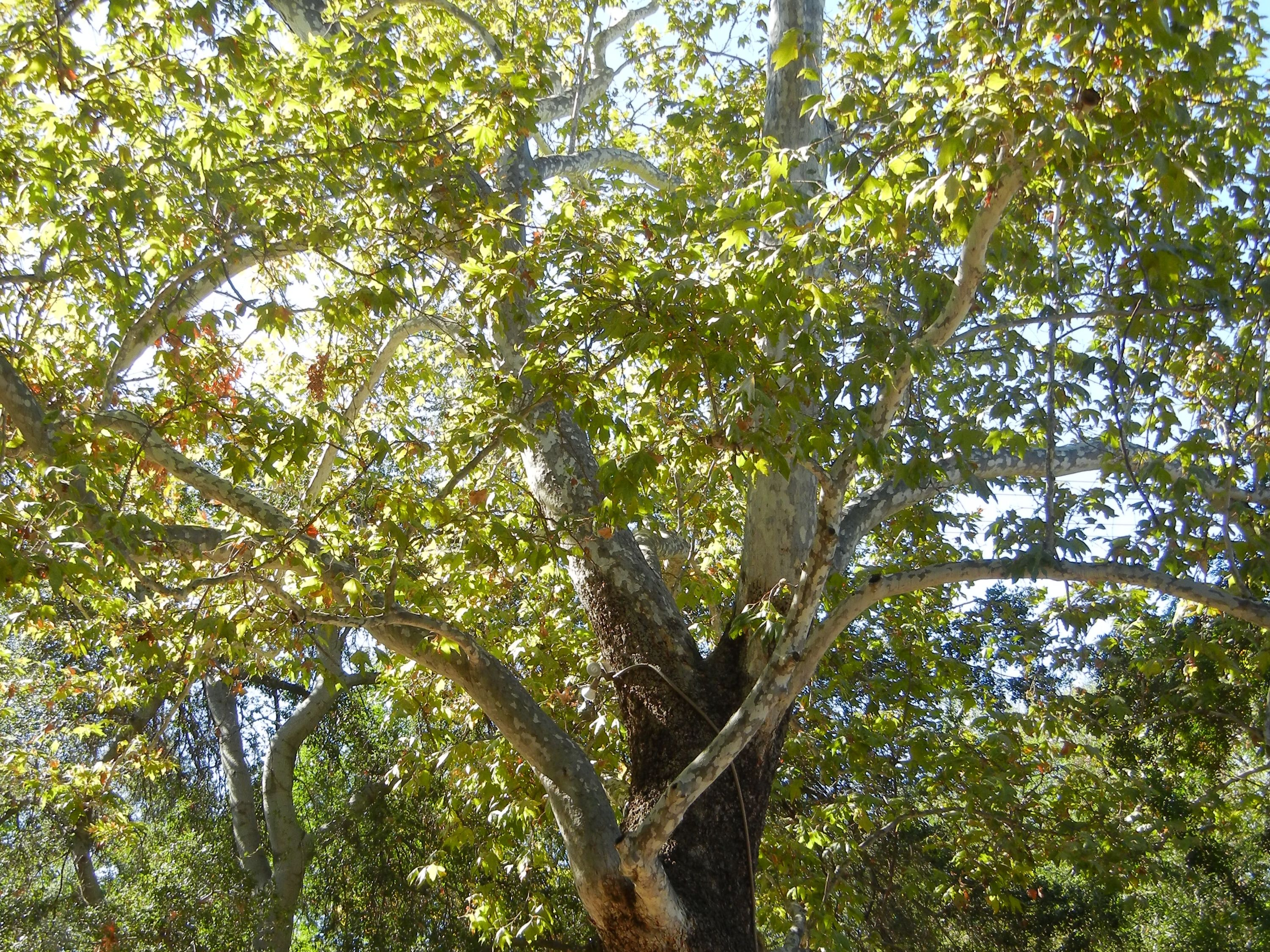 California Sycamore Tree - Make sure to visit GardenAnswers.com and ...