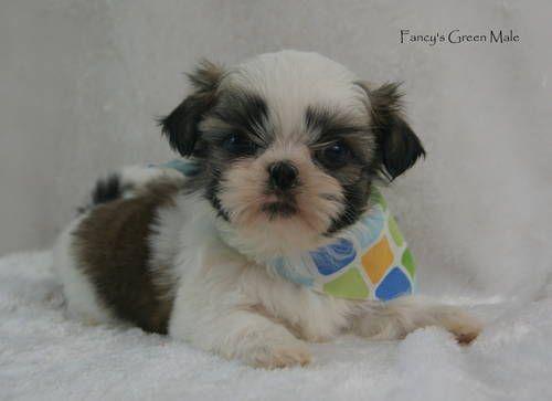 Sweet Shih Tzu Male (With images) Shih tzu puppy, Shih