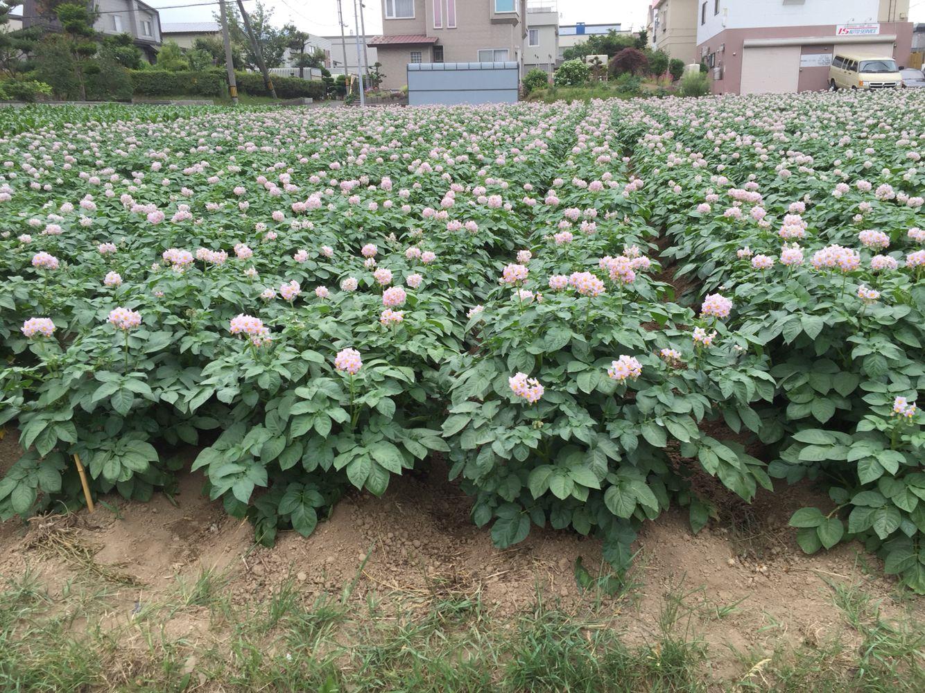 馬鈴薯の花(⌒▽⌒)