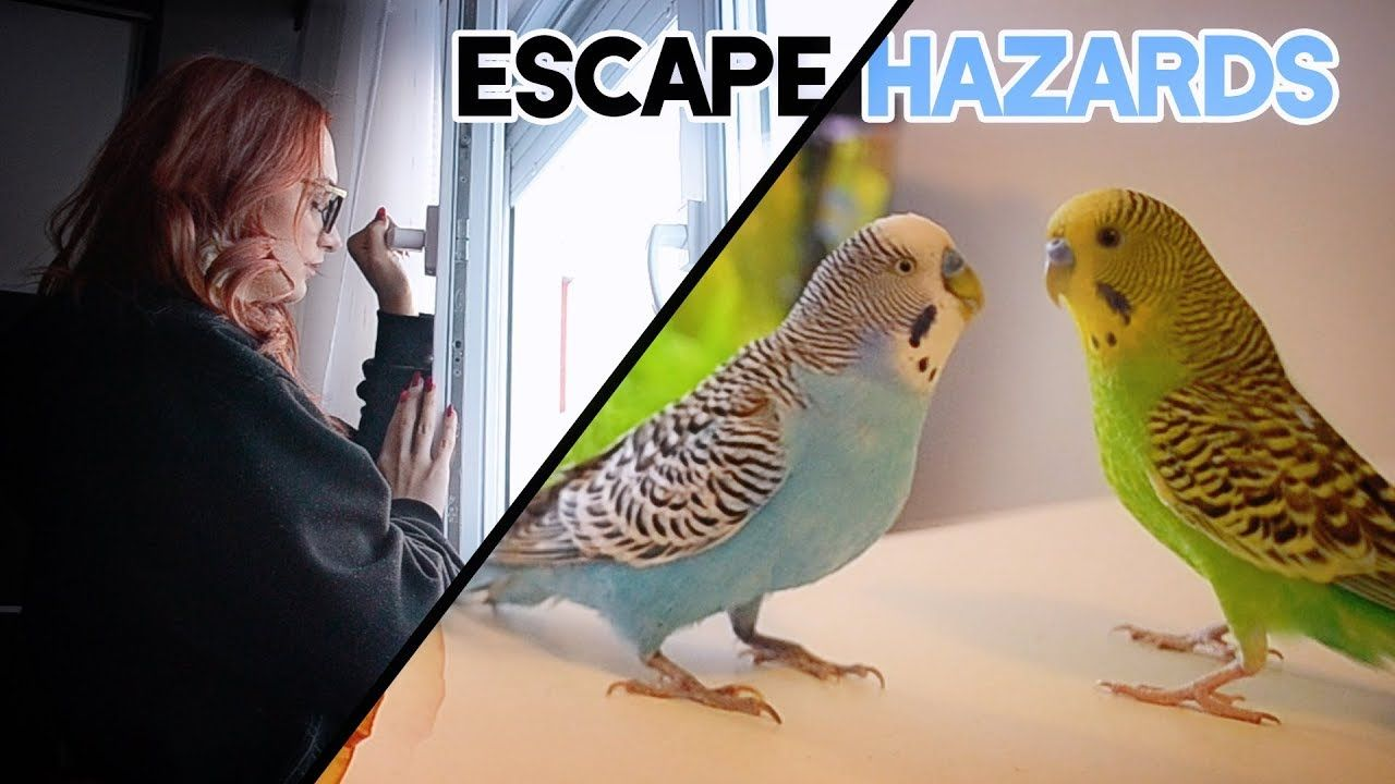 Budgie escape hazards how to take care budgies fish