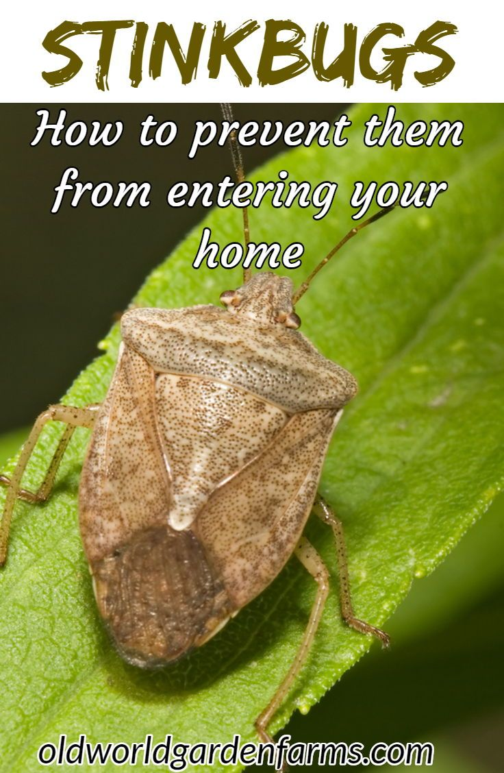 How To Keep Stink Bugs Out Of The House The Fall