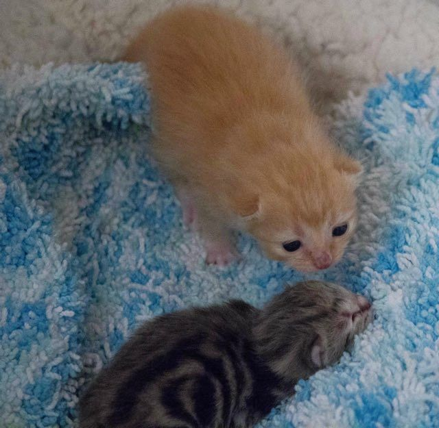 1 Week Old Orphan Kitten Finds A Surrogate Mom And A New Home Kitten Surrogate Mom Crazy Cats
