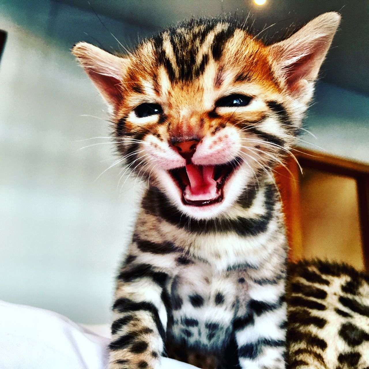 New Bellator Bengal Kittens, one boy available Cheadle