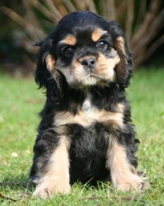 Love Those Cocker Spaniel Eyebrows Cocker Spaniel Spaniel
