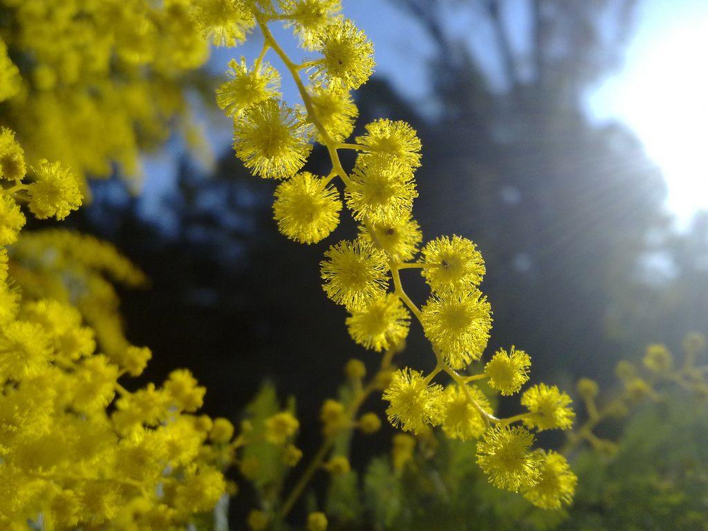First Wattle Blooms Acacia Baileyana Spring Flowers Bloom