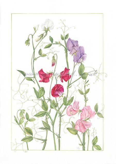 Lathyrus Odoratus Drawing Mixed sweet pea