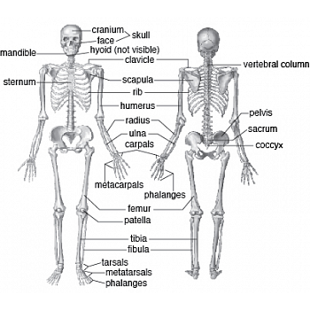 Skeletal System Anatomy and Physiology 9-12th grades - Science ...