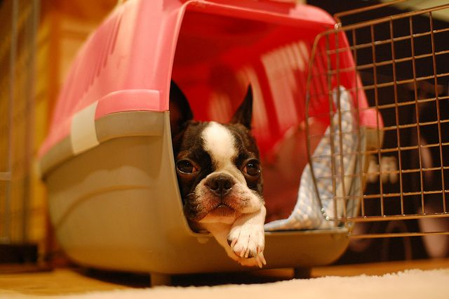 Boston Terrier Boston Terrier Crate Training Training Your Dog
