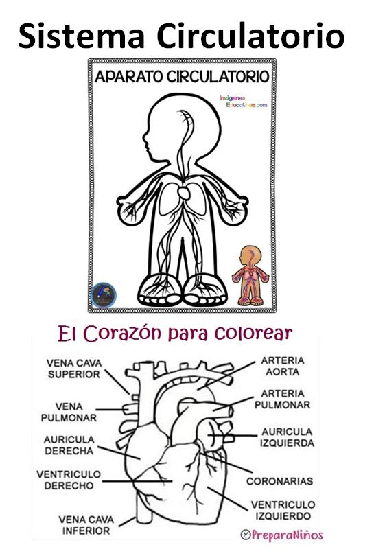 Sistema Circulatorio Para Segundo Grado Sistema Circulatorio Cuerpo Humano Para Ninos Sistema Circulatorio Corazon