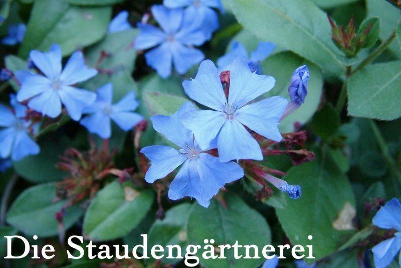 Ceratostigma plumbaginoides Gartentipps Pinterest