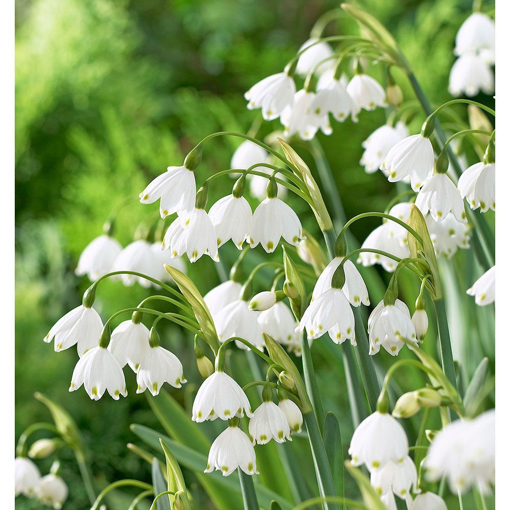 Snowbell Flowers Snowbell Bulbs More White Flower Farm In 2020 White Flower Farm Tulips Garden Garden Care