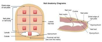 image result for nail diagram labeled histology skin skin rh pinterest com