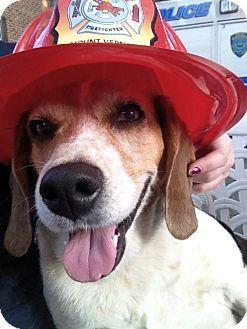 Mt Vernon, NY - Beagle Mix. Meet Cookie, a dog for adoption. http://www.adoptapet.com/pet/11397309-mt-vernon-new-york-beagle-mix