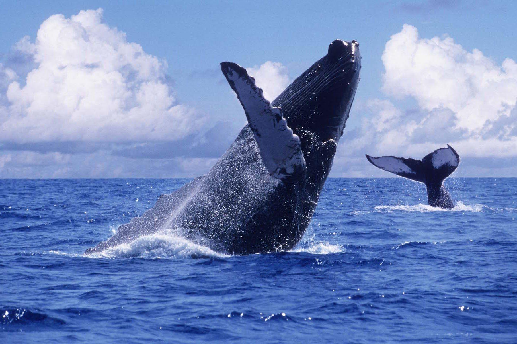 Ballenas jorobadas en el Chocó Colombia