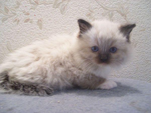 Ragalong Ragdoll Kittens For Sale From Breeders Briar Glen Farms Ragdoll Kitten Kittens Ragdoll Kittens For Sale