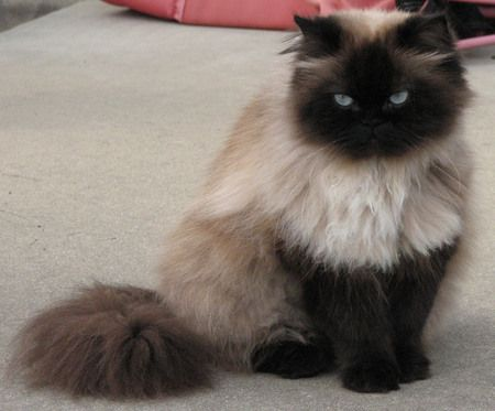 Pictures of seal point himalayan cats