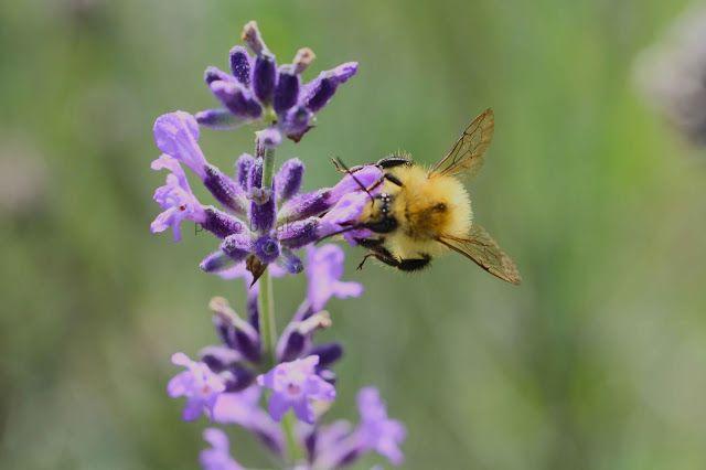 ak - ut: #lavendel