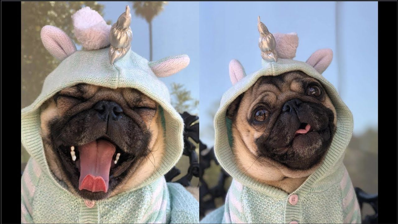 Cute and Funny Pug Dog Video Compilation 27 Funny dog