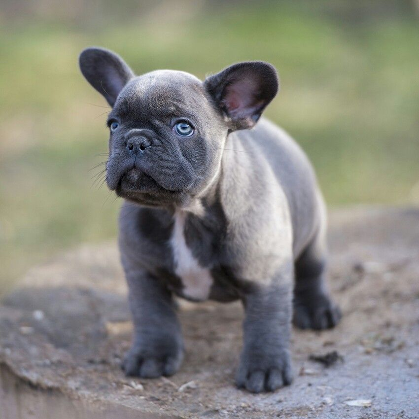 Available: Riley, blue boy http://www.frenchbulldogbreed.net/puppy-for-sale.html