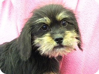 Dachshund Poodle Miniature Mix Puppy For Adoption In St Louis