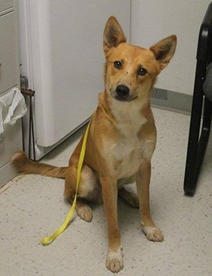 Sammy Adopted September 13 2016 Wise County Animal Shelter Decatur Texas Animal Shelter Animals Carolina Dog