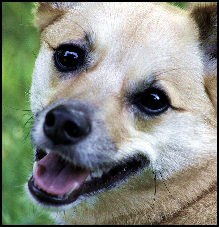 2 3 Parent Australian Cattle Dog Pug Mix Picture Australian