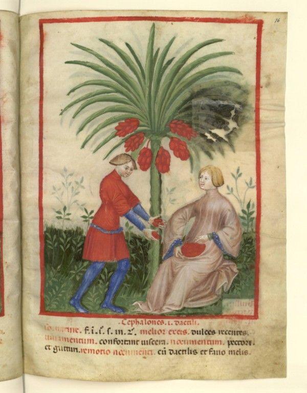 Nouvelle acquisition latine 1673, fol. 16, Récolte des dattes sauvages. Tacuinum sanitatis, Milano or Pavie (Italy), 1390-1400.