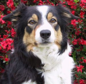Black With White Markings And Tan Points Border Collie Collie