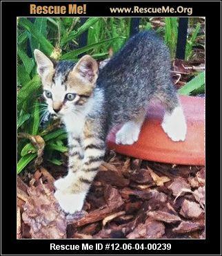 Hemingway Polydactyl Rescue Florida Post Animal Polydactyl Cat Florida