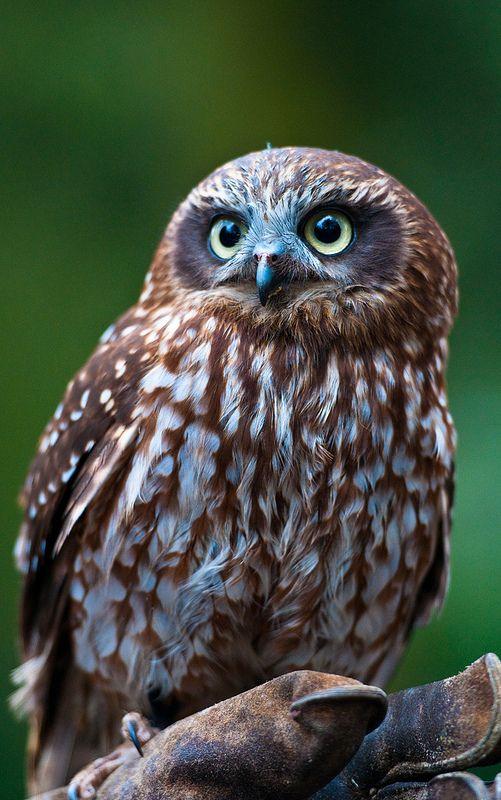 Boobook Owl by Kerri J Spangaro, via Flickr
