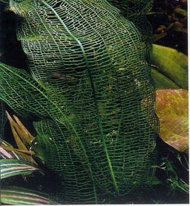 Aponogeton Madagascariensis Madagascar Lace Plant Plants Freshwater Plants Aquatic Plants