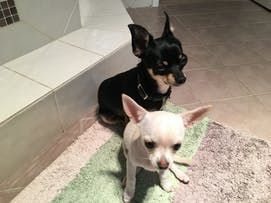 How To Train Your Chihuahua Dog To Get Along With Other Dogs