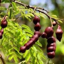 Acacia Concinna Shikakai 1 Kg Seeds Shikakai Online Plant Nursery No Poo